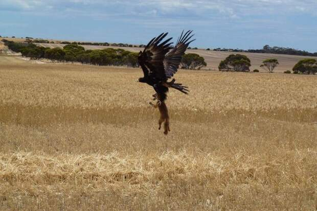 1. Скоро этот орел сможет неплохо подкрепиться... животные, природа