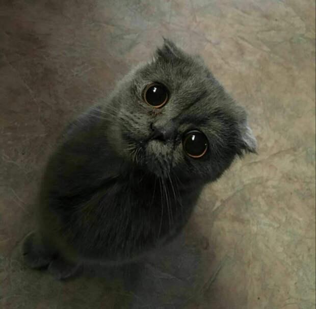 Шотландский вислоухий котёнок, которого семья нашла на улице, начал себя вести необычным образом, но у него на это была причина