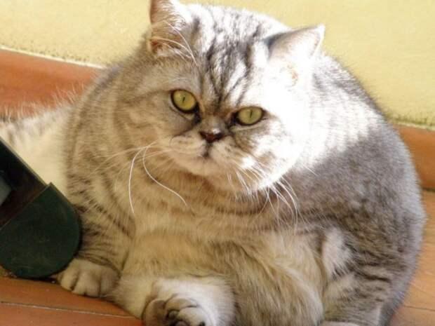 Ожирение у кошек: когда любовь не во благо