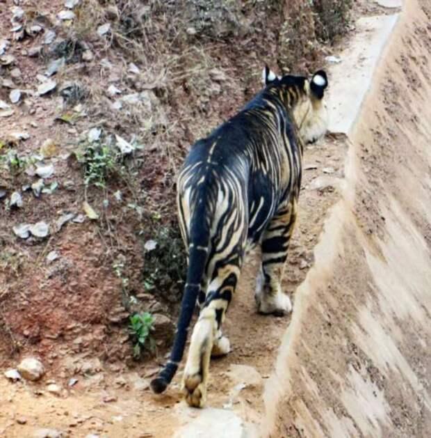 Редкий тигр-меланист замечен в Индии