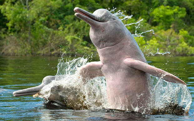 Амазонские дельфины в Бразилии