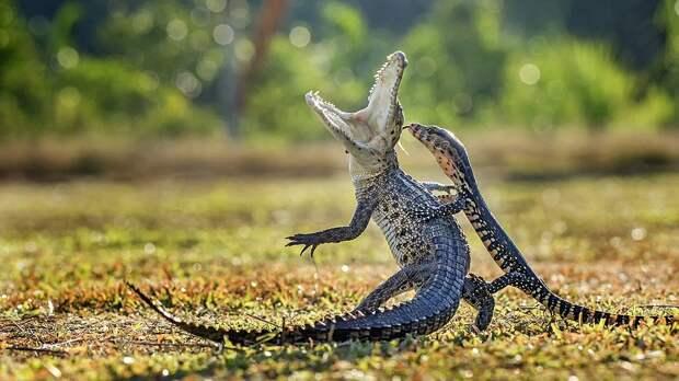 Крокодил и ящерица