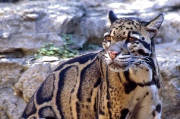 17. Дымчатый леопард кошки, природа