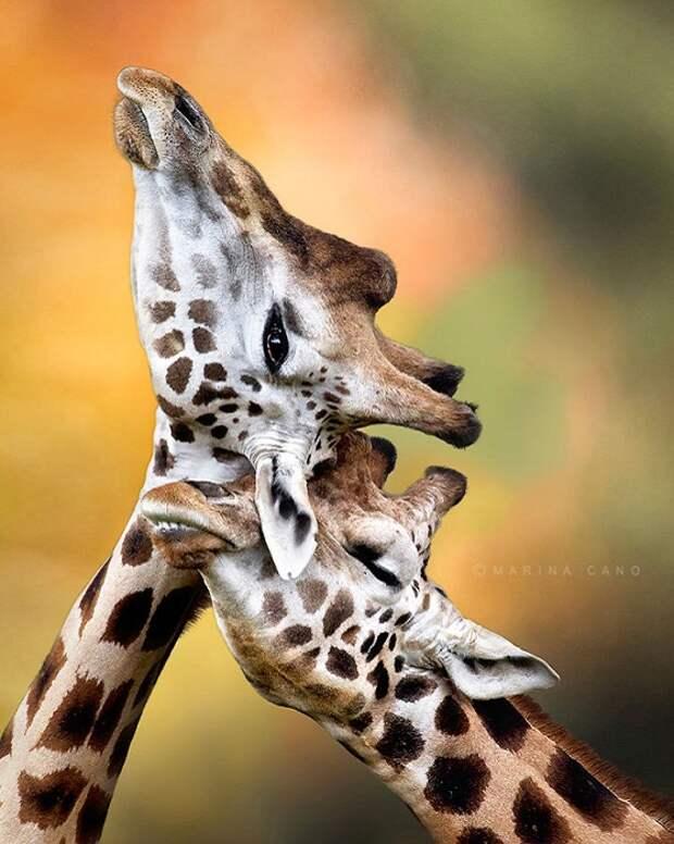 Фотография с жирафами.