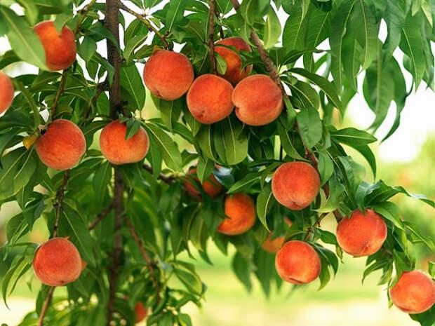 Выращивание абрикосов и персиков в России