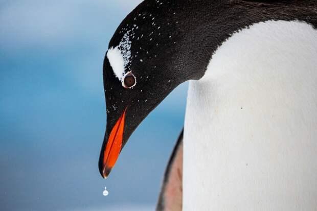 Папуанский пингвин. Фото: Габи Данкомб