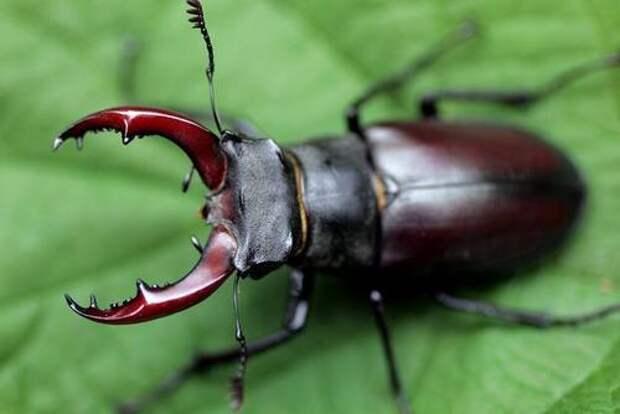 Не давите вот этих жуков: они занесены в Красную книгу и очень важны для нас всех!