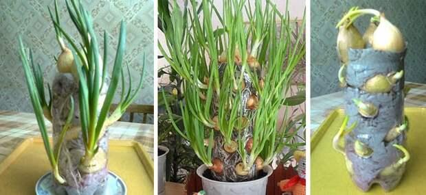 Выращиваем лук зимой - красиво и приктично