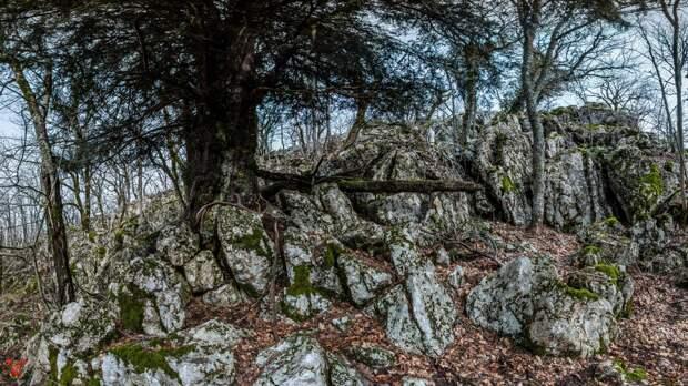 Самое древнее дерево России растет в Крыму