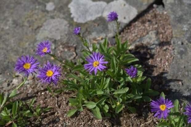 8 растений для цветника, не требующих полива