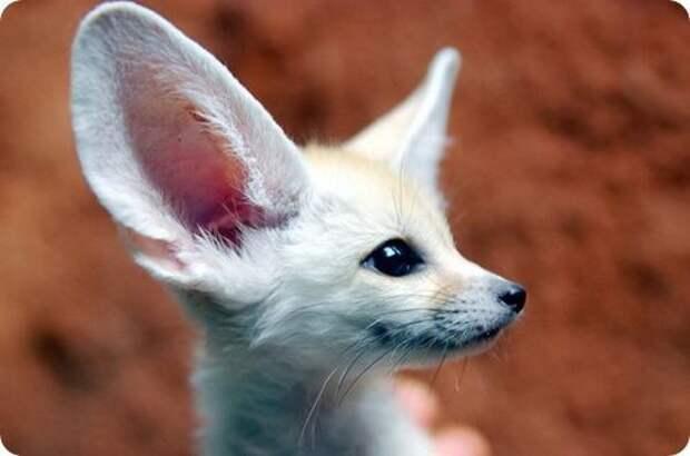 Милый ушастик под названием фенек зверек, смешной, ушастый