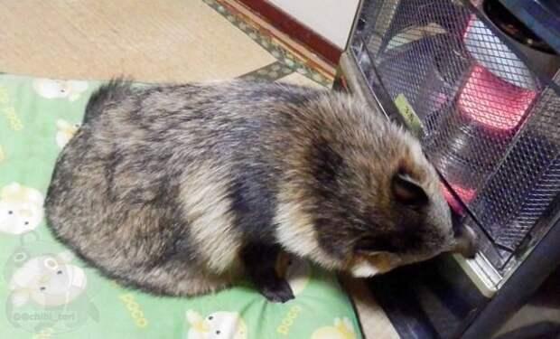 Интернет влюбился в енотовую собаку по кличке Тану енотовидная собака, животные, тануки