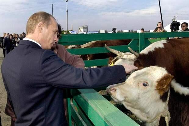 Поголовье КРС (или коров) в России снизилось до уровня 1941 года, менее 8 млн голов, причем 98% молочное стадо