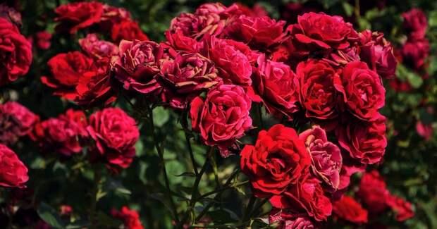 Весенняя посадка розы по всем правилам