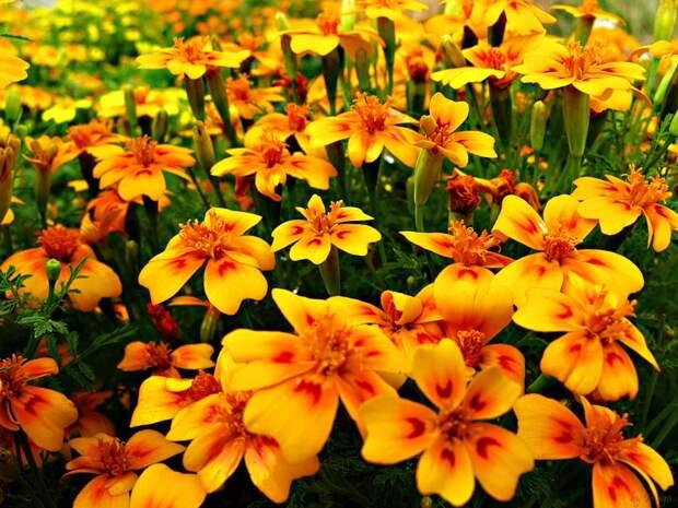 10 самых ароматных цветов