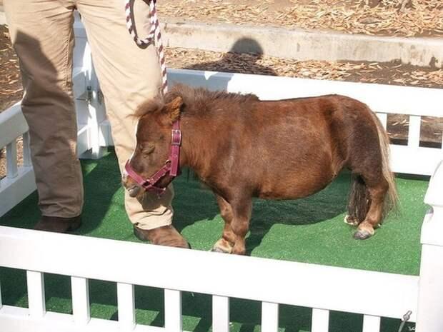 Эта лошадка - самая маленькая в мире. Но обаяния у нее точно не занимать!