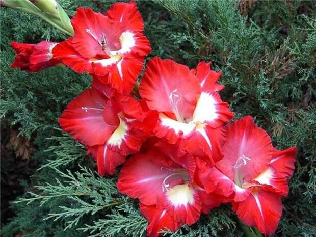 Опыт выращивания гладиолусов Цветы в загородном доме