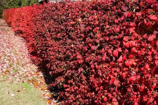 Из бересклета получаются роскошные живые изгороди