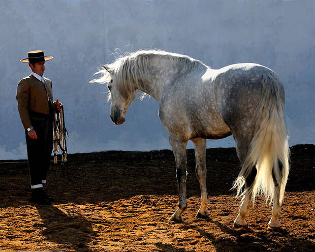33. Андалузских лошадей используют для скачек, развлечения и выставок. (Wojtek Kwiatkowski)