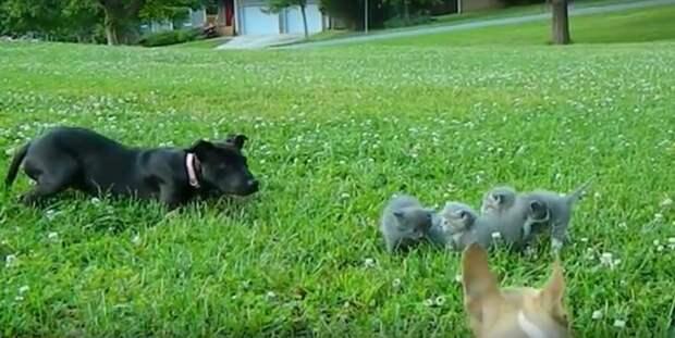 Храброе сердце! Смелый маленький песик бросился на защиту котят…