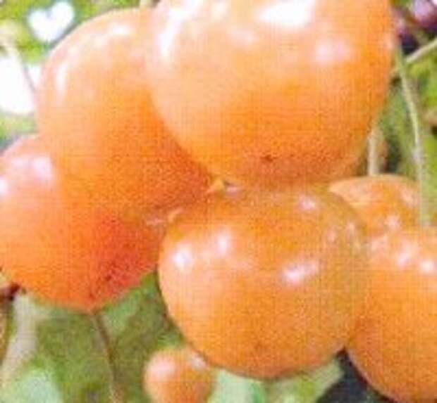 сорт черешни россошанская золотая
