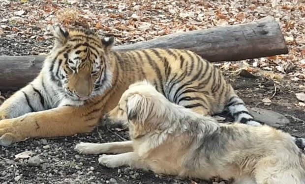 Собака и тигр лучшие друзья