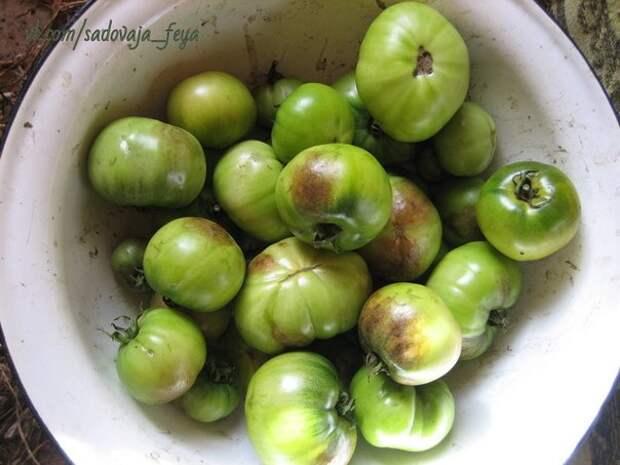 Садоводы - с тревогой ждем сезона вспышки фитофтороза на помидорных грядках.