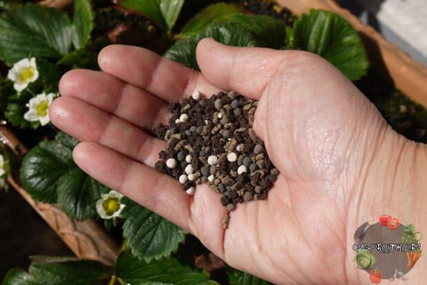 подкормка клубники вовремя цветения минеральными удобрениями