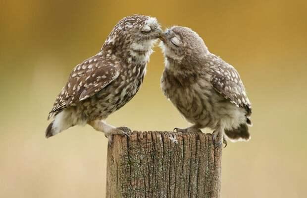 Снимок целующихся сов.