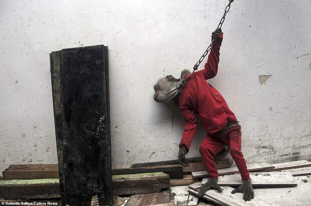 Chained by the neck: A monkey appears in visible pain as it yanks on a metal chain clamped around its neck, in one of the shocking pictures of animal abuse in Indonesia where the primates are forced to entertain tourists