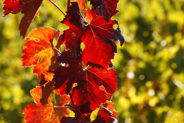 В сентябре виноградная стена окрашивается алыми, розовыми, оранжевыми и красными тонами.