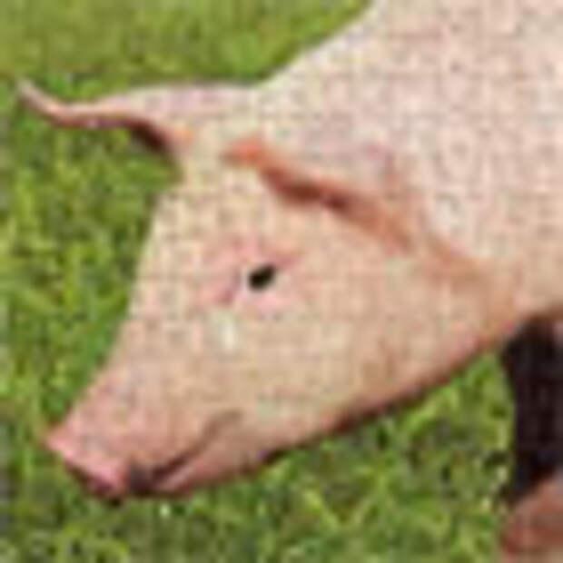 Как съесть свинью целиком