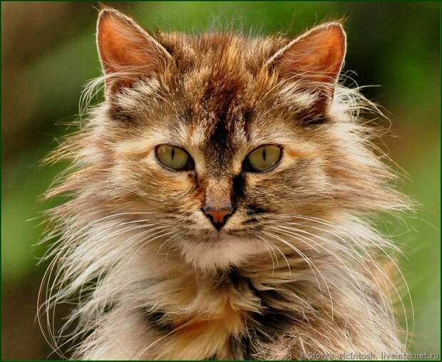 какой красивый кот! (700x574, 148Kb)