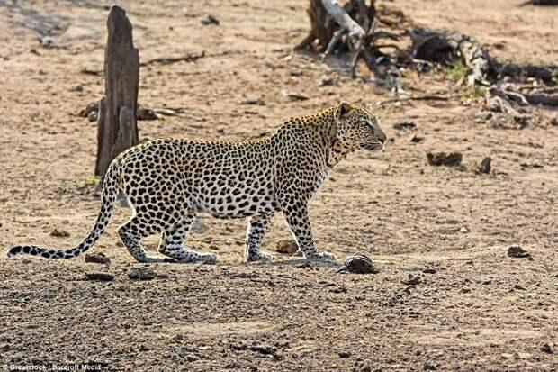 Подход: Леопард уже издалека заметил свою добычу, столь вкусно пахнущую едой бородавочник, животные, леопард, охота, природа