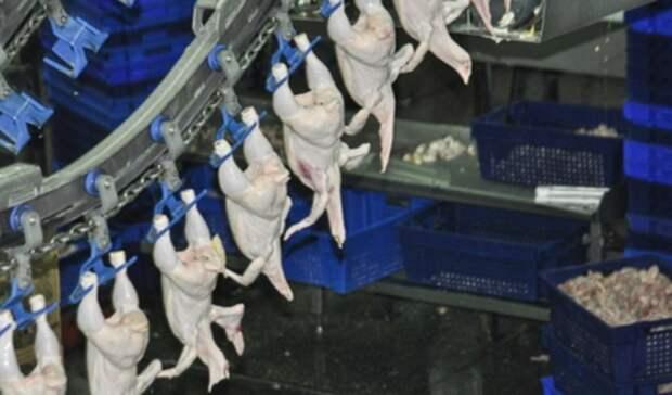 Производство бройлеров остановлено: наСреднеуральской птицефабрике увольняют людей