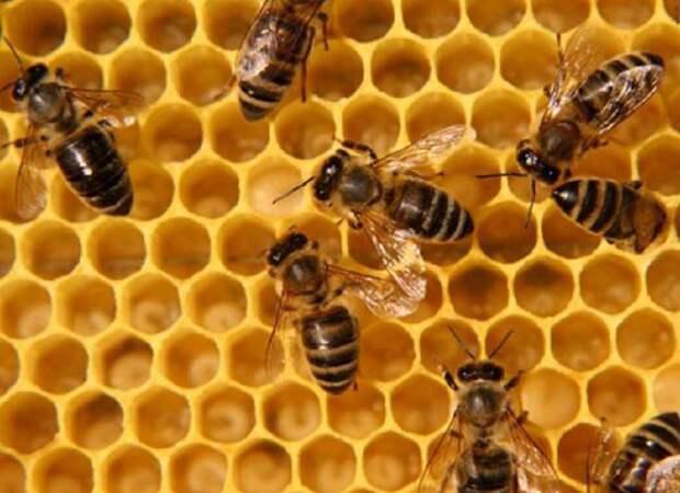 Немного о пчелах животные, мир, мёд, насекомые, нектар, пчёлы