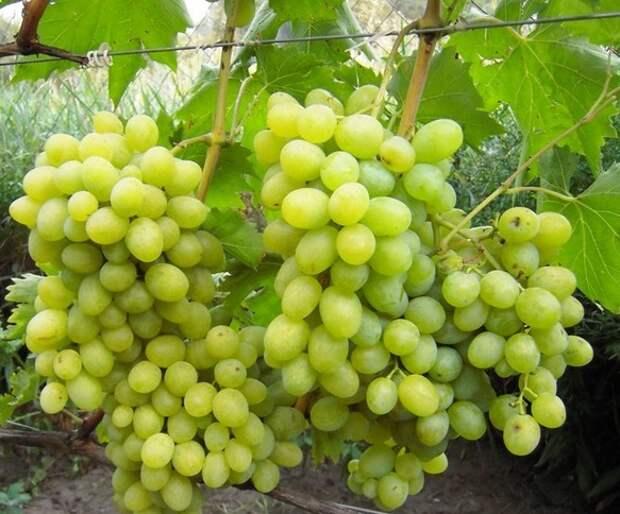 9 бесценных советов по покупке саженцев винограда
