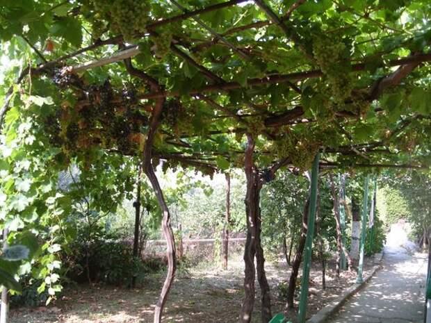 Пергола с виноградом