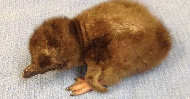 """В американском зоопарке новорожденного пингвина назвали """"Боуи"""" дэвид боуи, зоопарк, пингвин"""