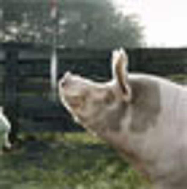 На безрыбье и свинья - рыба