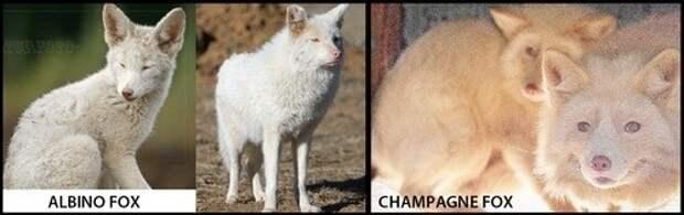 Необычные белый лев и розовая лисица