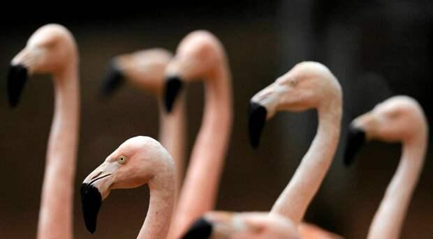 Фламинго с протезом 13