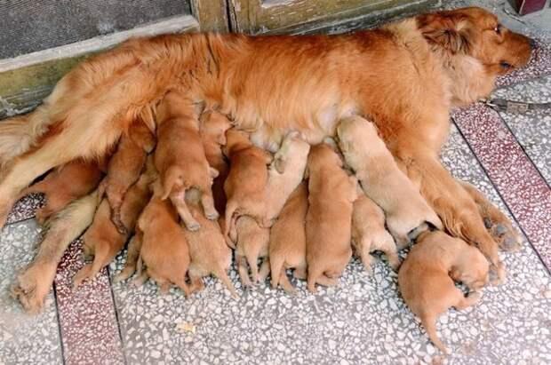 Мифы о здоровье: каждая собака должна хотя бы раз родить