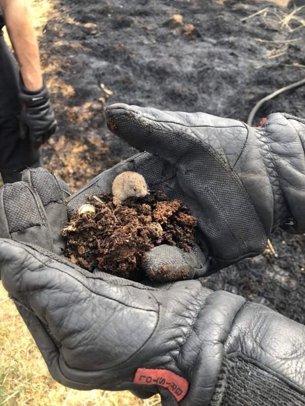 Тушившие луг пожарные спасли крошечного мышонка