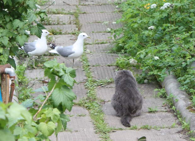 Как коты воспитывали чайку животные, история