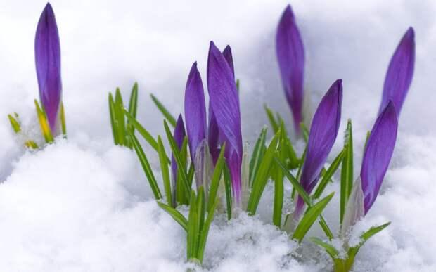 Первоцвет, снег, Крокусы, фиолетовый, бутоны, весна обои, фо…