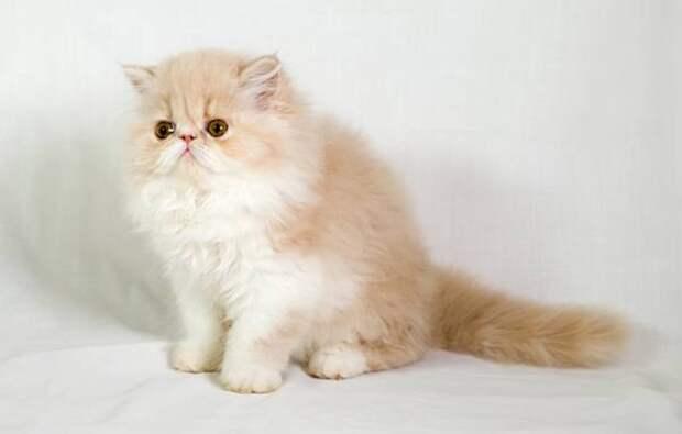 Персидский котенок, фото породы кошек фотография