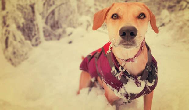 Новая жизнь с хозяином во Франции: снежная собачка питомцы, расстояние, собака, эксперимент