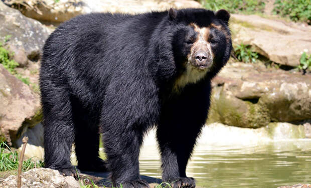Если постричь медведя, он становится похожим на оборотня. Фото из зоопарка