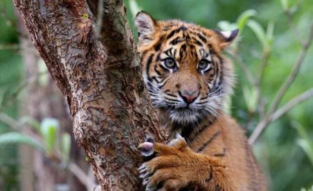 16. Суматранский тигр кошки, природа